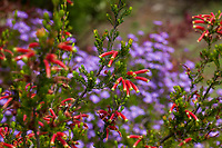 Erica speciosa, red flowering shrub Cape Heath from South Africa