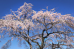 Cherry Blossom trees in full bloom in Kyoto.<br /> <br /> Des cerisiers en fleurs en pleine floraison à Kyoto.