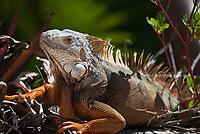 Green or Common Iguana (Iguana Iguana), Lizards, Florida