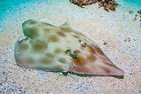 eastern shovelnose ray, Aptychotrema rostrata, Flinders Reef, Moreton Bay Marine Park, Brisbane, Queensland, Australia, Pacific Ocean