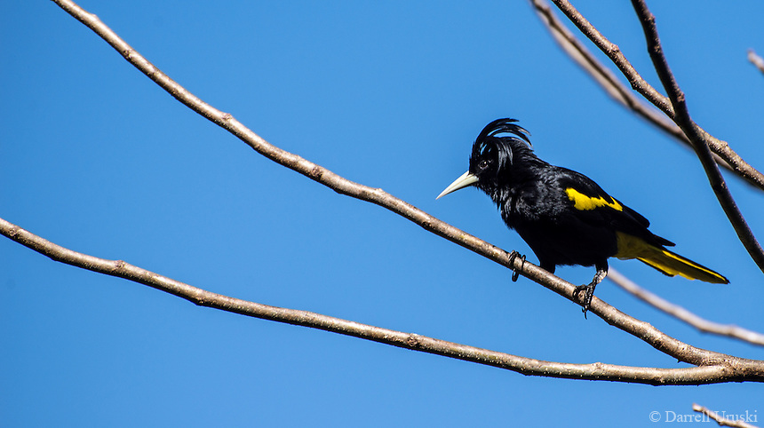 Wildlife Art Photograph of a Yellow-winged Cacique perched on a tree. I especially liked this birds tuft of feathers above it's head. The Mexican Cacique or Yellow-winged Cacique (Cacicus melanicterus) is a species of bird in the Icteridae family. It is found in Guatemala and Mexico.<br />