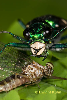 1C35-546z  Six-spotted Green Tiger Beetle - Cirindela sexguttata - close-up of head and jaws, eyes - consuming Mayfly adult