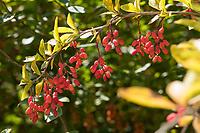 Gewöhnliche Berberitze, Berberitze, Echte Berberitze, Sauerdorn, Berberis vulgaris, Barberry, Common Barberry, European barberry, Le Vinettier, l'Épine-vinette