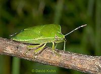 0720-07qq  Green Stink Bug - Acrosternum hilare - © David Kuhn/Dwight Kuhn Photography