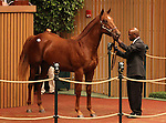 Hip #328 Distorted Humor - Somethinaboutbetty colt at the Keeneland September Yearling Sale.  September 11, 2012.