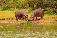 Africa, Uganda , Queen Elisabeth park, Kazinga canal,hippo