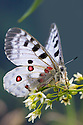 Apollo butterfly (Parnassius apollo) Nordtirol, Austrian Alps. June.
