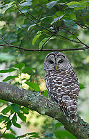 I was fortunate to see Barred Owls a few times in succession when I visited Discovery Park this particular year. Since then, I've had more trouble finding them.