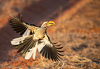 The Southern Yellow-billed Hornbill has a well-earned nickname: The Flying Banana.<br /> <br /> Photo © Jennifer Waugh