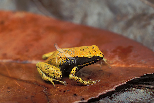 YELLOW MANTELLA..Native to eastern Madagascar..Captive. (Mantella crocea).
