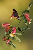 Red Admiral, Vanessa atalanta, adult on Cross Vine (Bignonia capreolata), Uvalde County, Hill Country, Texas, USA