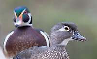 Female and male Wood ducks photographed at Reifel Bird Sanctuary.