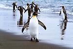 King penguins walking along beach, South Georgia Island
