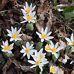 Bloodroot flowering the Middlesex Fells Reservation in Medford, MA, USA