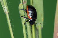 Rotsaum-Blattkäfer, Rotsaumblattkäfer, Blutiger Blattkäfer, Chrysolina sanguinolenta, Toadflax Leaf Beetle, Toadflax leaf-beetle