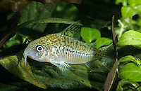 Genetzter Panzerwels, Falscher Netzpanzerwels, Netz-Panzerwels, Corydoras sodalis, False Network Cory, false network catfish, Panzerwelse, Callichthyidae