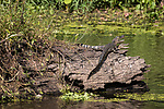 Damon, Texas; a pair of juvenile American alligators sunning themselves on a submerged tree trunk, in the middle of the slough, with their mouths open