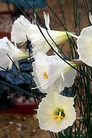 Narcissus romieuxii subsp. albidus var. zaianicus (Division13) daffodils species spring flowering bulbs, dwarf daffodils, miniature