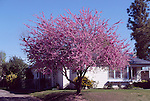 14265-CA Western Redbud, Cercis occidentalis, flowering tree in front yard in April at Bakersfield, CA USA.