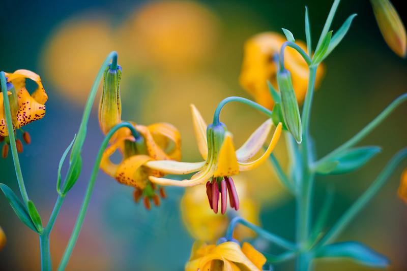 Tiger or Columbian lily (lilium columbianum).  Hurricane Ridge. Olympic National Park. Washington.