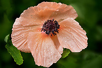 Close up of poppy flower with dew.