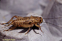 OR09-027a   Cricket - immature female cricket, small wing pads and ovipositor, house cricket - Acheta domestica