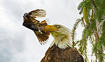Bluejay terrorises eagle as it slaps it in the face by Guilong Charles Cheng