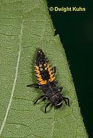 1C02-521z  Asian Ladybug Larva, Harmonia axyridis
