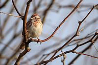 Song Sparrow (Melospiza melodia fallax) at the Riparian Preserve at Water Ranch, Gilbert, Arizona.