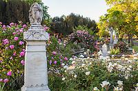 Old roses flowering in Sacramento Old City Cemetery; 'Grandmother's Hat' pink flowering rose on trellis
