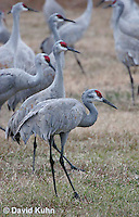 0102-1006  Flock of Sandhill Cranes Eating in Field during Winter, Grus canadensis  © David Kuhn/Dwight Kuhn Photography
