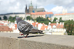 this dove did the catwalk in Prague on the Charles Bridge, a stone Gothic bridge that connects the Old Town and Malá Strana. Its construction was commissioned by Czech king and Holy Roman Emperor Charles IV and began in 1357. In charge of the construction was architect Petr Parlé? who did also build the Prague Castle. It is said that egg yolks were mixed into the mortar to strengthen the construction of the bridge. Probably the reason why birds like it.
