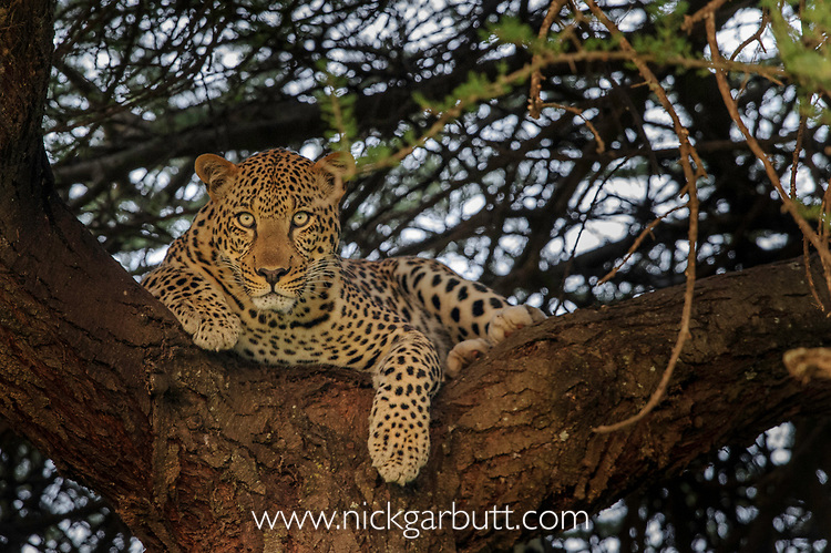 Male leopard (Panthera pardus) resting in an Acacia tree. Woodland on the edge of the short grass plains of the Serengeti / Ngorongoro Conservation Area (NCA) near Ndutu, Tanzania.