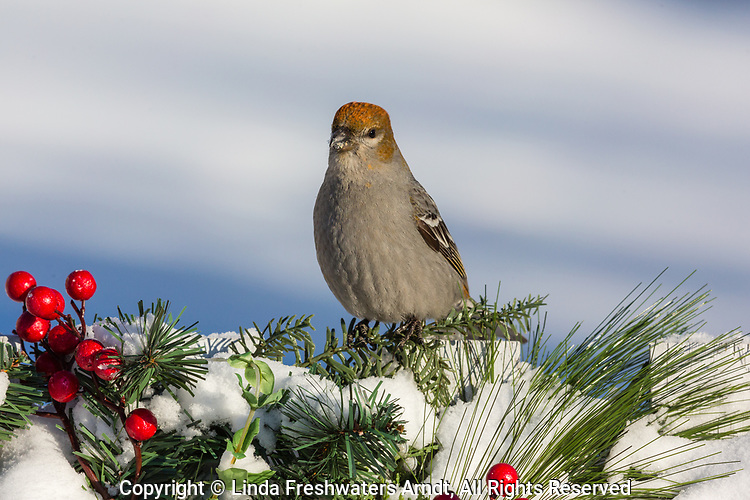 Female pine grosbeak perched on a festive backyard fence in northern Wisconsin.