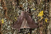 Rotbraune Frühlings-Bodeneule, Braunrote Wegericheule, Cerastis rubricosa, Red Chestnut, La Noctuelle rubiconde, Eulenfalter, Noctuidae, noctuid moths, noctuid moth