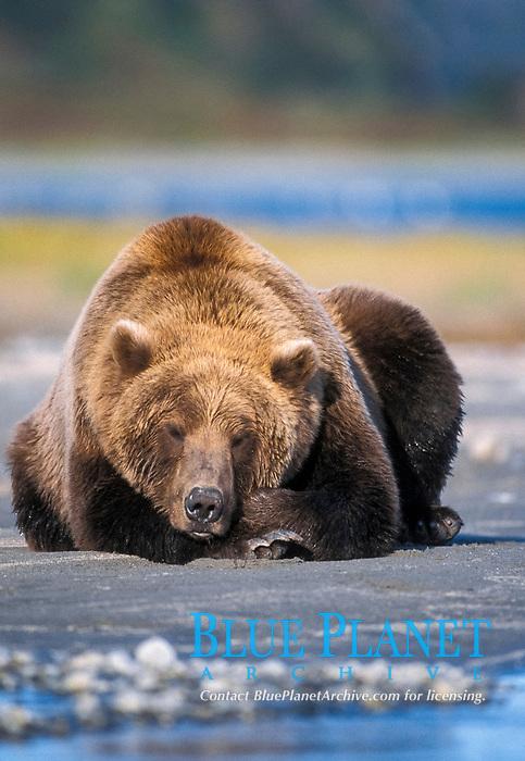 brown bear, Ursus arctos, grizzly bear, Ursus horribilis, sleeping, taking a nap, Katmai National Park on the Alaskan Penninsula, Alaska