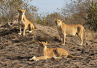 We had plenty of lion sightings in Kruger, MalaMala, and at Tswalu, including perhaps my best shoots with lion cubs to date.