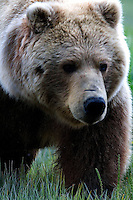 The Kodiak bear (Ursus arctos middendorffi), also known as the Kodiak brown bear or the Alaskan grizzly bear or American brown bear, occupies the coastal areas and islands of the Kodiak Archipelago in South-Western Alaska. It is the largest subspecies of brown bear. This female had a yearling cub with her and paid no attention what-so-ever to us.<br /> Halo Bay, Katmai National Park.