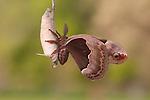 prometheus moth