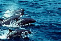 false killer whales, Pseudorca crassidens, (E. Pacific Ocean)
