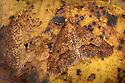 Mottled Umber moth {Erannis defoliaria} male, camouflaged on woodland floor. Peak District National Park, Derbyshire UK. October.