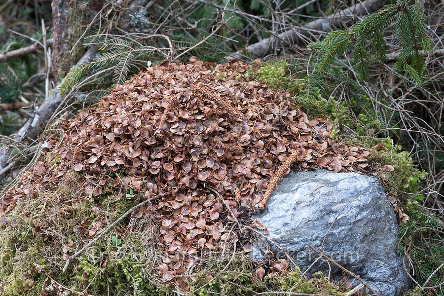 Eichhörnchen hat Fichtenzapfen, Zapfen abgenagt und die Samen gefressen, typische Fraßspur, Frass-Spur, Sciurus vulgaris, Red squirrel, squirrel, cone, spruce cone, Écureuil d´Europe