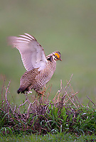 572110244 a wild lesser prairie chicken tympanuchus pallidicintus displays and struts on a lek on a remote ranch near canadian in the texas panhandle