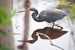 Ding Darling National Wildlife Refuge, Sanibel Island, Florida; a Tricolored heron (Egretta tricolor) bird stands in the shallow water of the mangroves, fishing for food, while it's reflection mirrors it's shape on the water's surface © Matthew Meier Photography, matthewmeierphoto.com All Rights Reserved