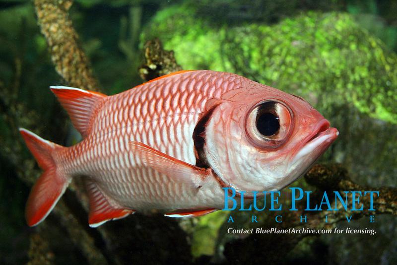 Blackbar Soldierfish (Myripristis jacobus) (c)