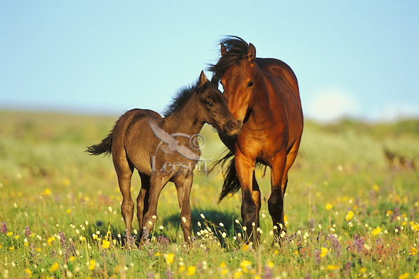 Young adolescent wild horse checks out this years colt in meadow of wildflowers.  Western U.S., summer. (Equus caballus).....