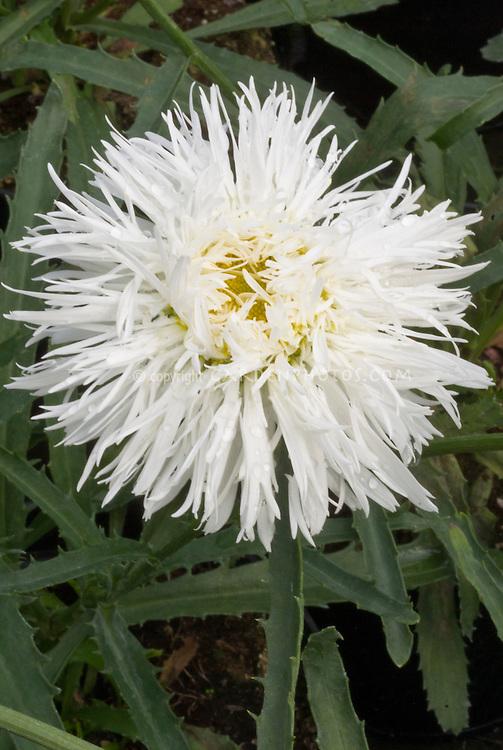 Leucanthemum Sante in shaggy double white flowers, Shasta Daisy