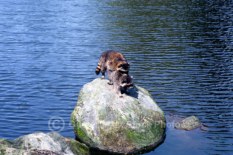 Two Wild Raccoons (Procyon lotor) mating on Rock in Lake