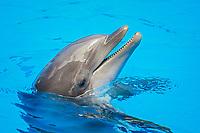 common bottlenose dolphin, Atlantic bottlenose dolphin, Tursiops truncatus (c)