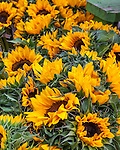 Fresh sunflowers at the Summer Farmers Market in historic downtown Burlington, VT, USA
